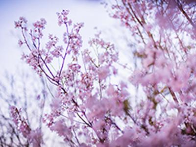 桜パーティープランの画像
